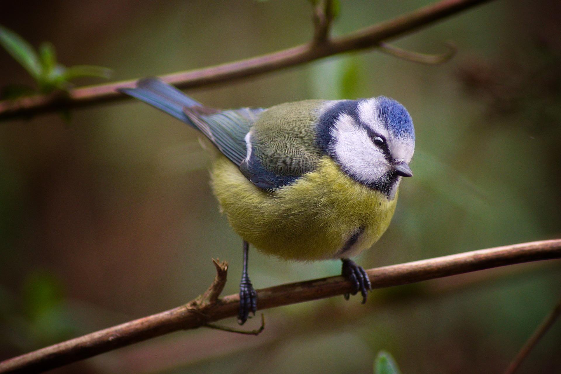 wildvogelfutter-kaufen-blaumeise